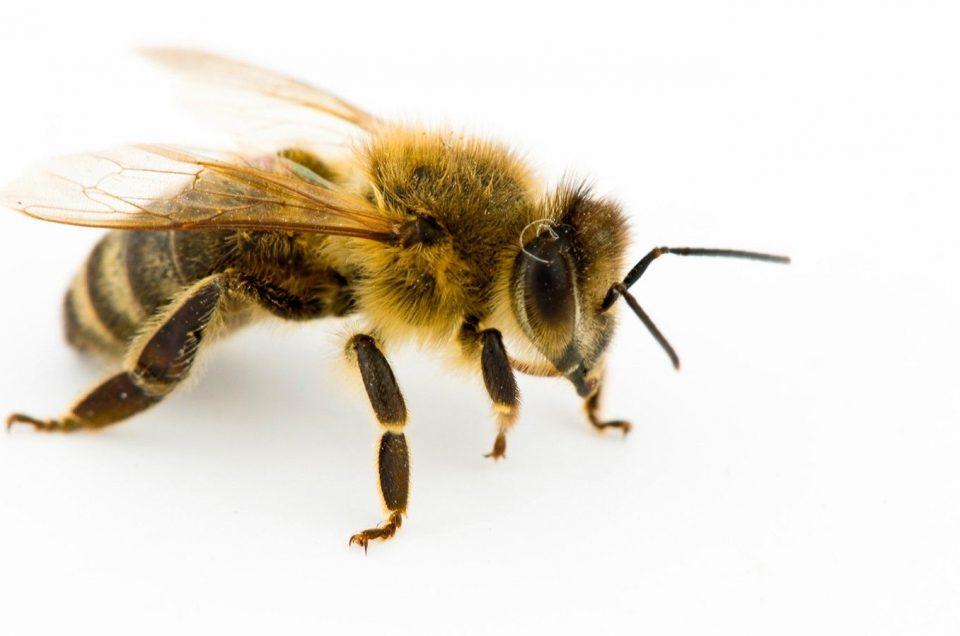 A importância das abelhas e o Mel do Alvão